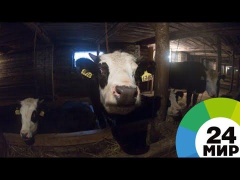 Автоматизированные фермы: как развивают животноводство в Армении - МИР 24