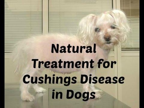 Cushings Disease in Dogs: Natural Treatment