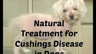Cushings Disease in Dogs: Natural Treatment