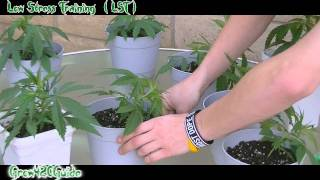 How to: (LST) Low Stress Training your Cannabis plant
