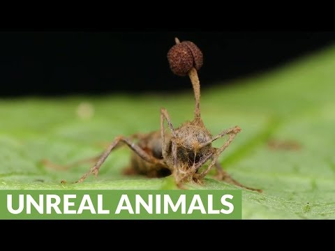 """Zombie"" ant victim of killer fungus"
