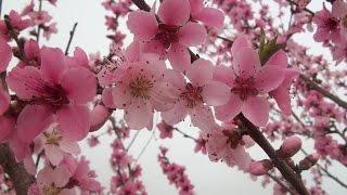 видео Кизил: описание растения, популярные сорта, сроки и правила посадки, особенности ухода, способы и технология размножения, выращивание из косточки