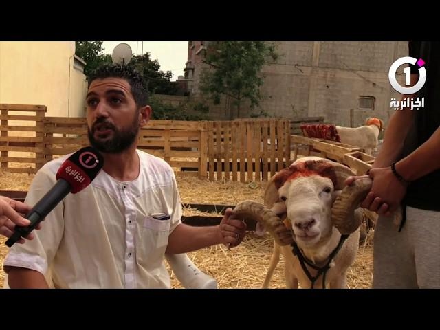 كباش يزيد سعرها عن 30  مليون سنتيم  .. سلالات نادرة