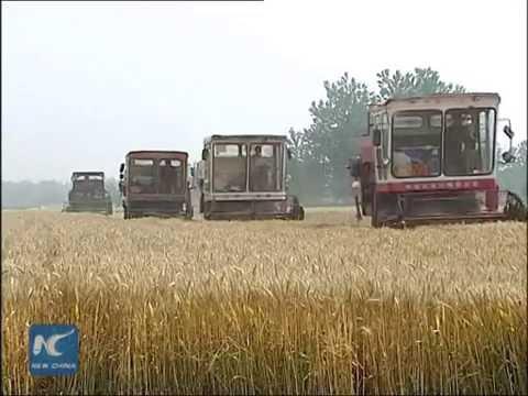 Summer wheat harvest kicks off in China