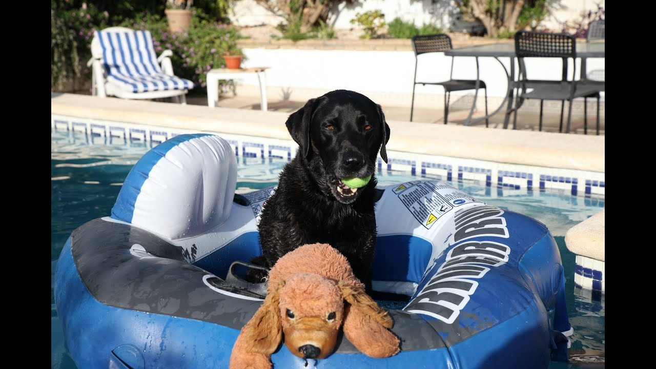 Percy the Labrador by the Pool 3