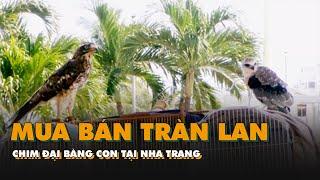 Mua bán tràn lan chim đại bàng con tại Nha Trang