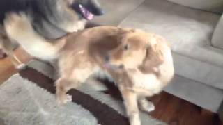 German Shepherd And Golden Retriever Playing