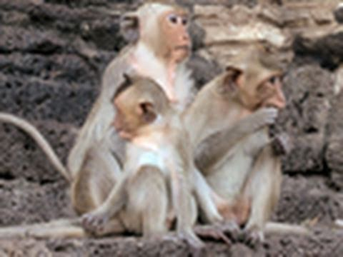 Lopburi Monkey Festival | National Geographic