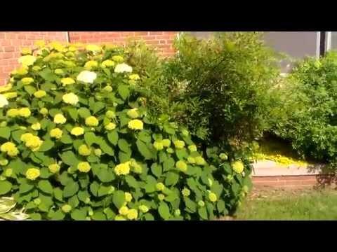 Viburnum Opulus Roseum - Snowball Bush Viburnum