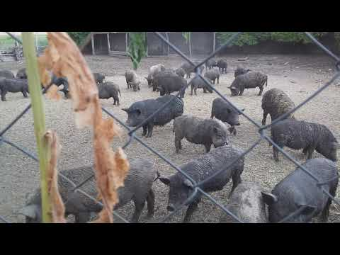 Свиньи без химии экопродукт Украина Харьков 0675736455