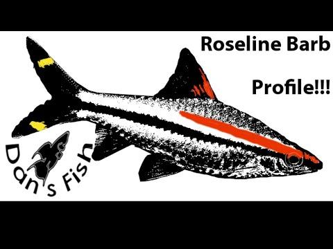 Roseline Barb Profile (Sahyadria Denissonii)