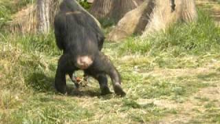 Ape sex
