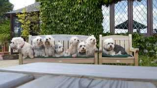 Dandie Dinmont Terriers photoshoot