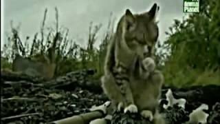 Животные Чернобыля!!! | Жизнь после смерти