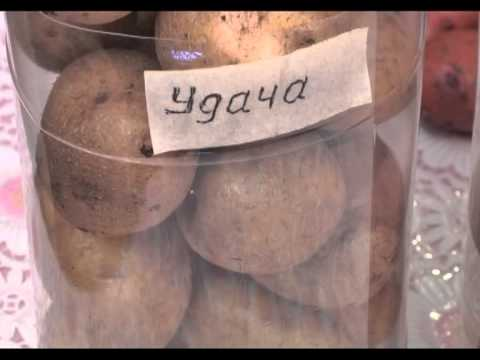 Какой сорт картофеля самый вкусный Сайт о саде, даче и