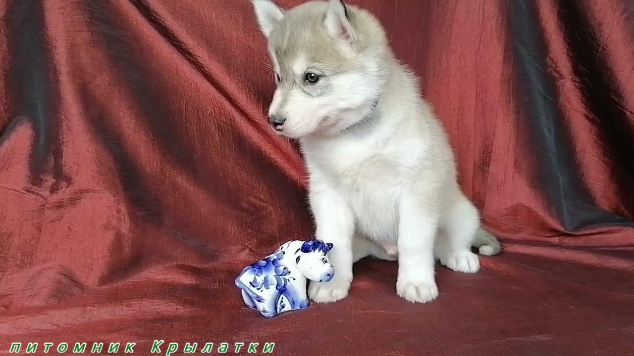 Предлагаем мальчика серо-белого щенка хаски, родился 27 февраля 2021 года