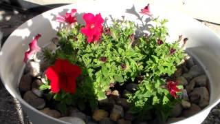 Цветы моего сада Blossoming Flowers in my Garden(Ссылка на мой канал : http://www.youtube.com/c/MyNevadaUSA Здравствуйте, мои дорогие друзья! В этом видео снова приглашаю..., 2015-06-07T01:13:29.000Z)
