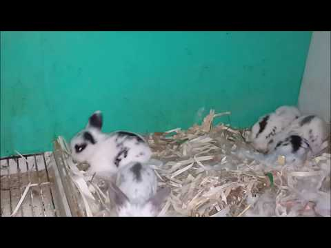 YAVRU TAVŞANLARIN GELİŞİMİ  (1-17 GÜN ARASI) & Growing of the Puppy Rabbits  (1-17 DAY BETWEEN)