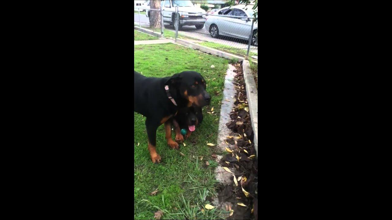 Small Female Dog Humping A Big Male Dog - Youtube-4529