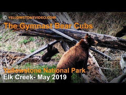 Yellowstone National Park - its Gymnast Bear Cubs