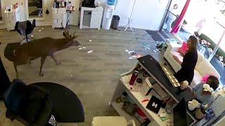 Usa, un cervo sfonda la vetrina di un parrucchiere: clienti terrorizzati