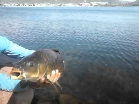 Fly fishing epic carp grab sparks marina nevada youtube for Fly fishing nevada