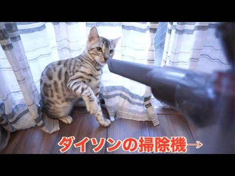 ダイソンの掃除機と戦う猫