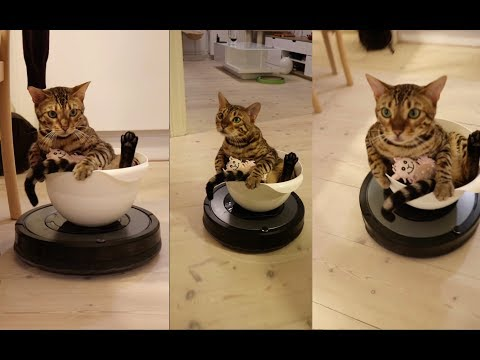 My cat loves driving on the vacuum cleaner | Roomba