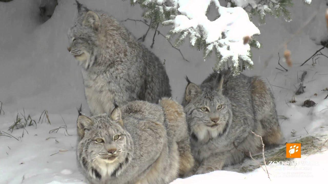 1e neige pour les lynx du canada first snow for canada doovi. Black Bedroom Furniture Sets. Home Design Ideas