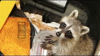 Yes, We too love the MPR Raccoon in St. Paul, Minnesota - The Trend