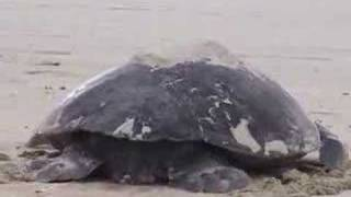 Sea Turtle Laying Eggs in The Galapagos