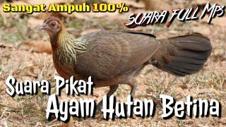 Gambar cover Suara pikat ayam hutan betina ampuh untuk kegiatan memikat dan berburu ayam hutan