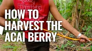 How To Harvest The Acai Berry