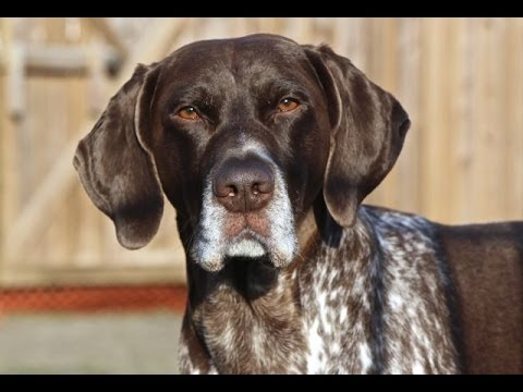 Jethro The German Shorthaired Pointer - 'My First Three Years'