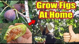 Everything You Need To Know About Growing Figs At Home | What's My Favorite Fig Tree To Grow