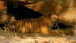 Bandhavgarh and Tiger Temple Part1.flv