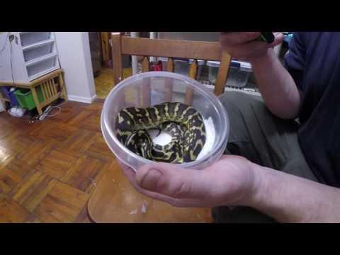 Snake bites camera! Reptile unboxing, Irian jaya carpet python