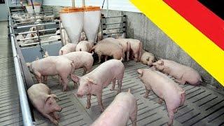 Германия. Разведение свиней,общий вид предприятия