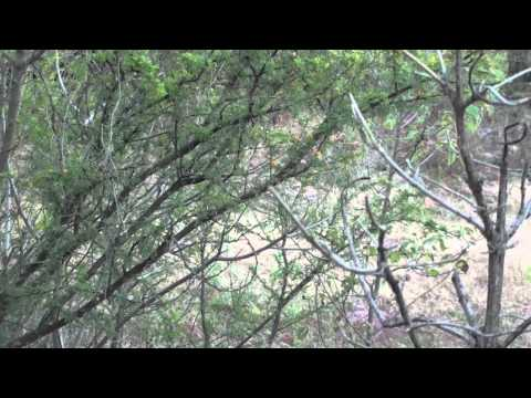 gray fox hunting with air rifle