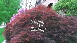 HOW TO: Thin a Japanese Maple FOLLOW-UP