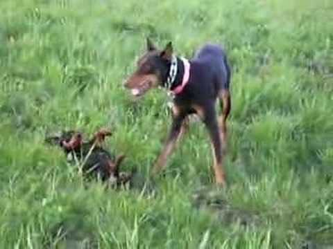 The Miniature Pinscher With A Big Dog Complex Youtube