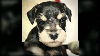 This Video Previously Contained A Copyrighted Audio Track. Due To A Claim By A Copyright Holder, The Audio Track Has Been Muted.     Mimiature Schnauzer Puppies  From Bryn Kennels