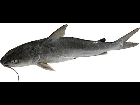 HOW TO COOK SALTWATER CATFISH