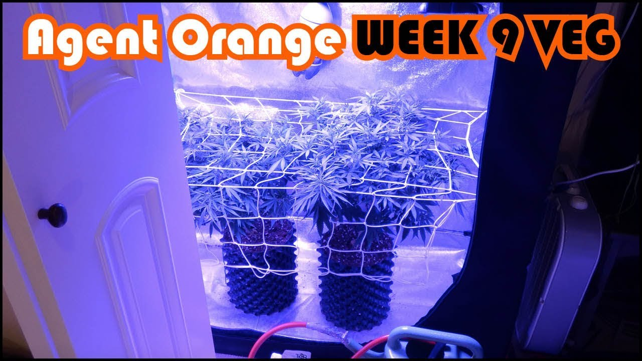 Agent Orange Beginner Grow Series:  Week 9 of Vegetation