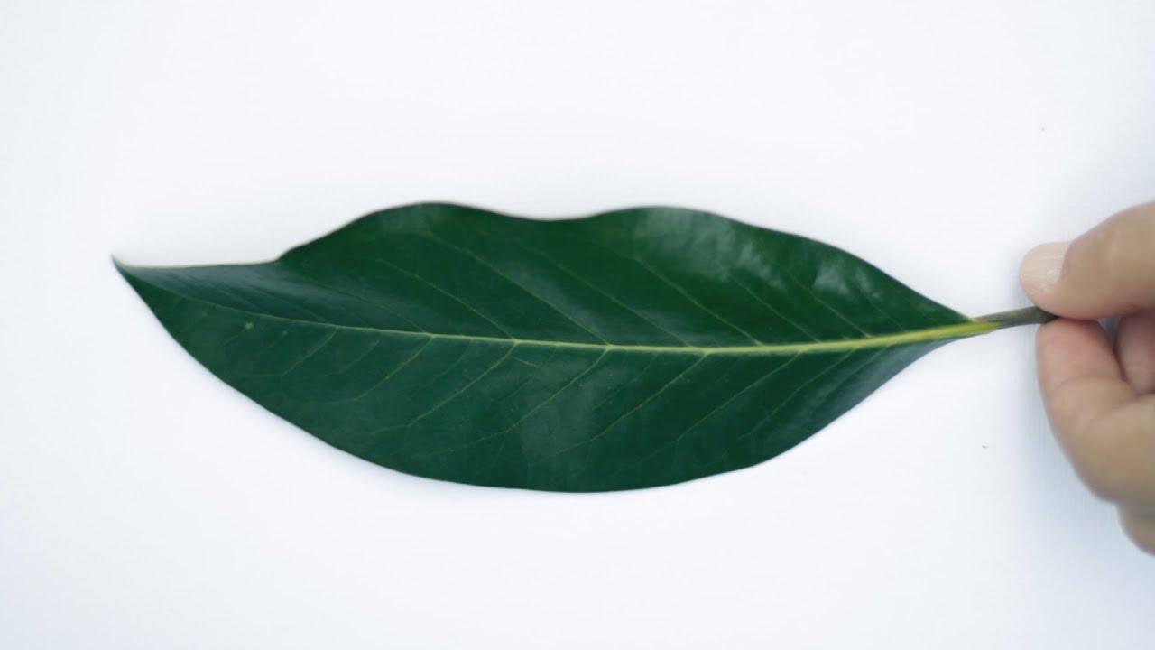 Herbario hojas de rboles agostoenlanaturaleza youtube for Arboles de hoja caduca