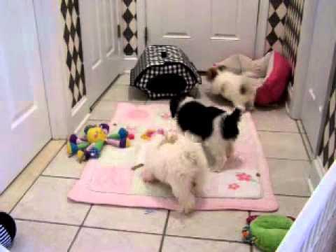 cavachon-puppies-for-sale
