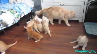 СМЕШНЫЕ Котики 2016 Подборка Самых Смешных Видео про Кошек и Котов