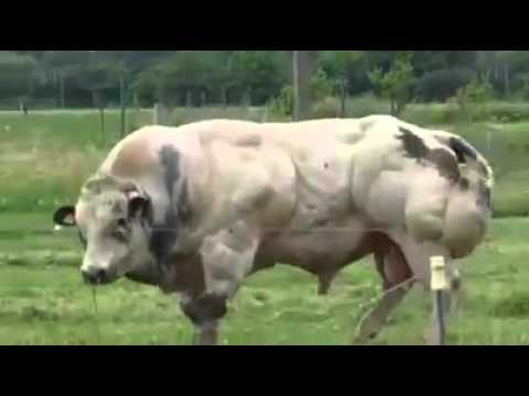 This is what GMO cattle look like.