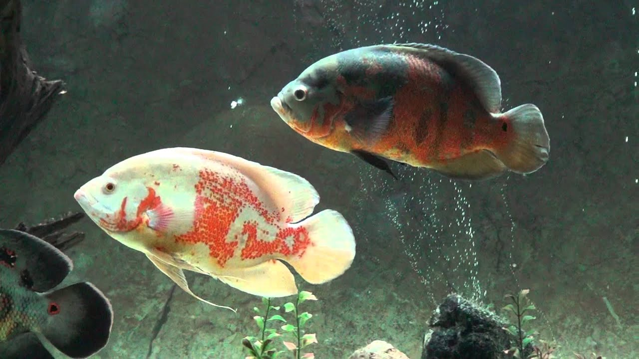My Oscar Fish And Friends Youtube