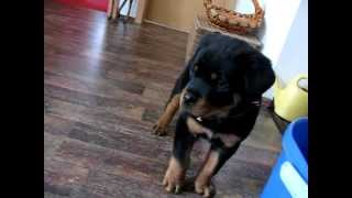Funny Barking Rottweiler Puppy